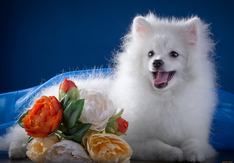 советских открытках картинки собак шпиц белых каждой